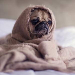 Sad dog under blanket
